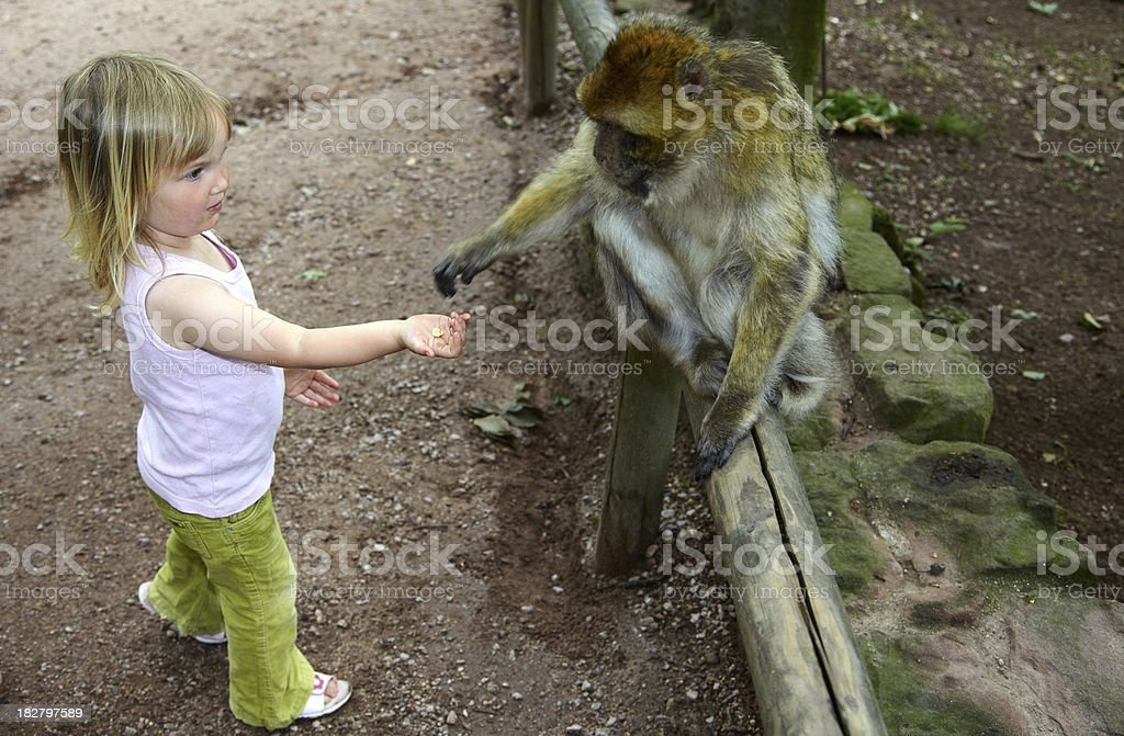 Young girl feading in a berber macaque stock photo