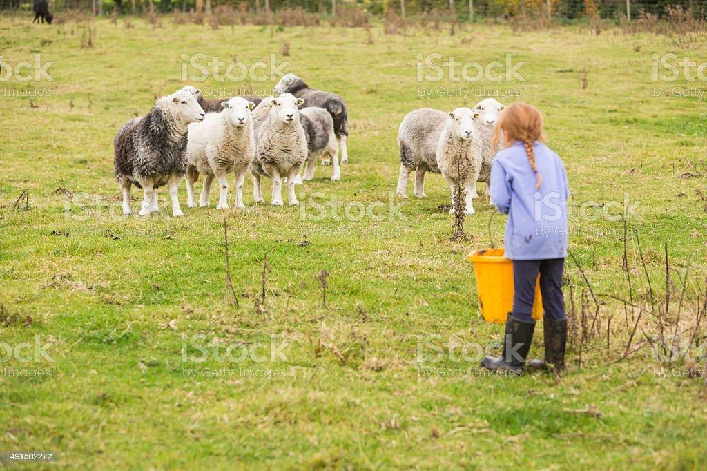 Young Girl Feeding Sheep on an Organic Farm stock photo