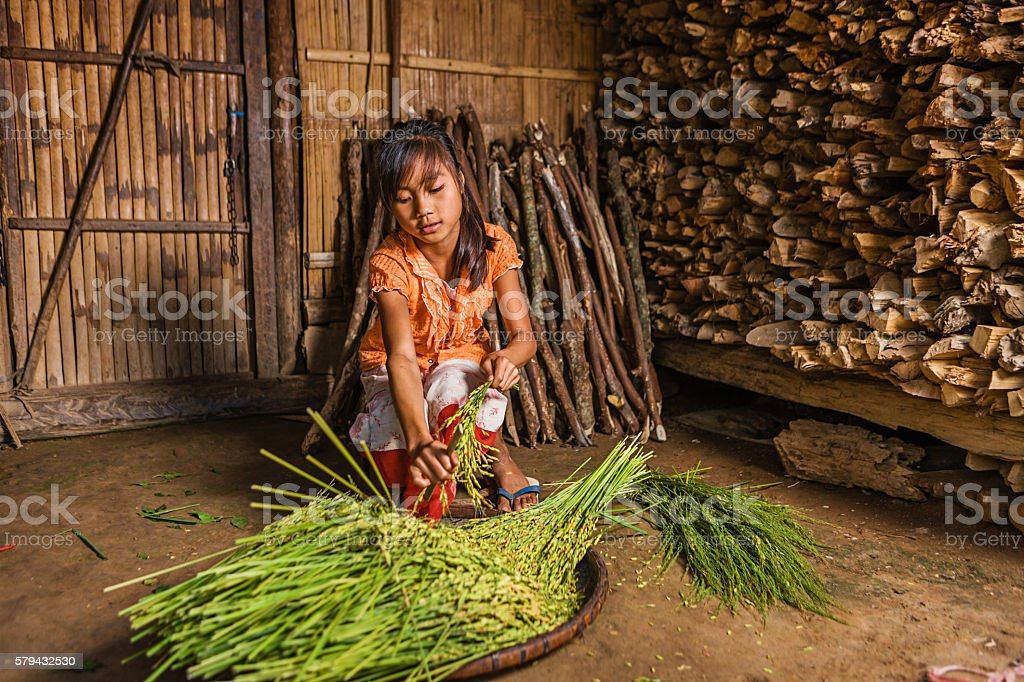 Young girl from hill tribe harvesting rice in Northern Laos stock photo
