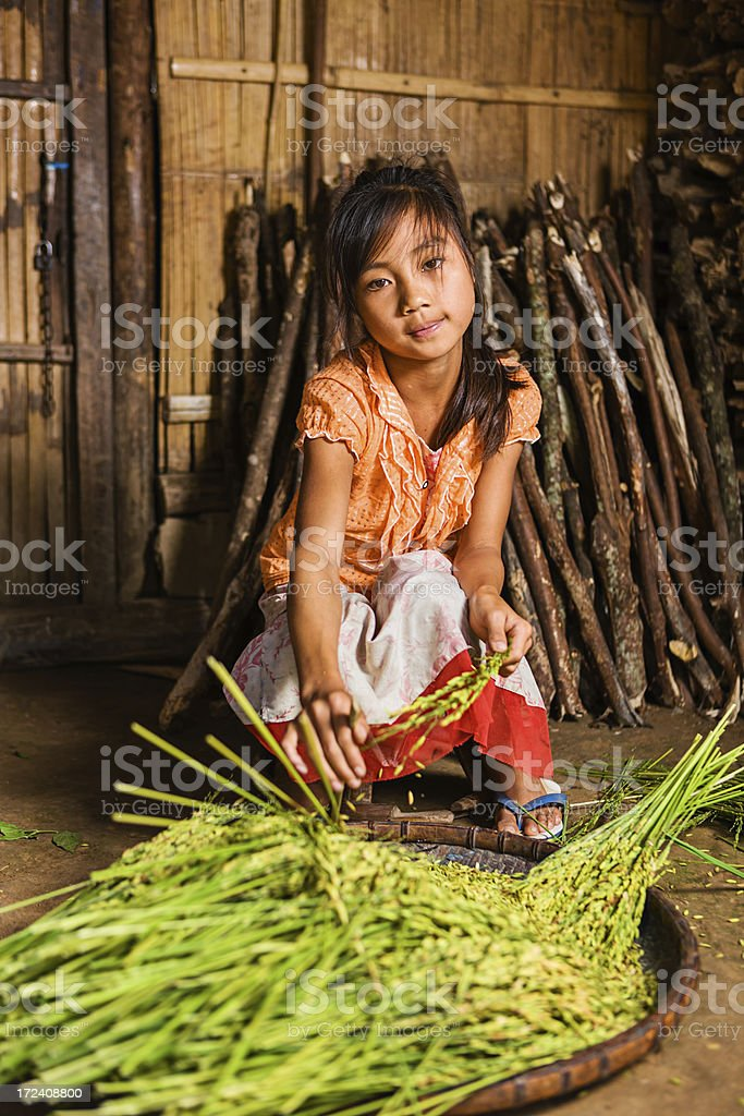Young girl from the Lantan hill tribe harvesting a rice royalty-free stock photo