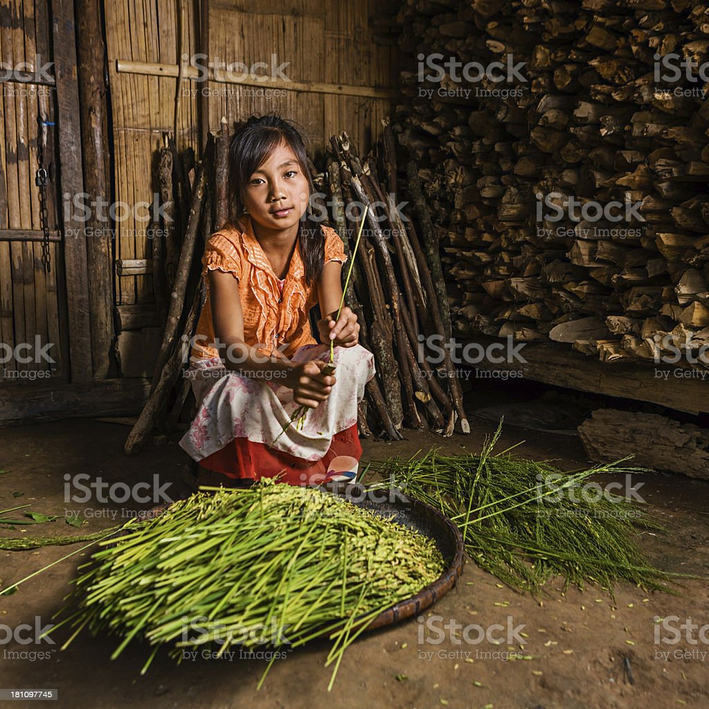 Young girl from the Lantan hill tribe harvesting a rice stock photo