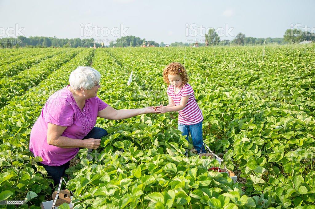 Young Girl & Grandma Picking Strawberries in Field stock photo