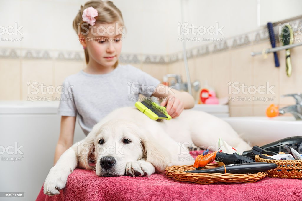 A young girl grooming her Labrador dog on the table stock photo