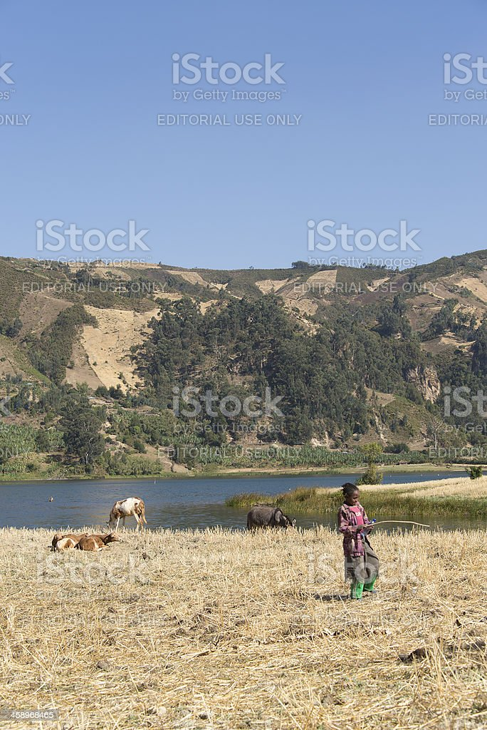 Young girl herding the cows royalty-free stock photo