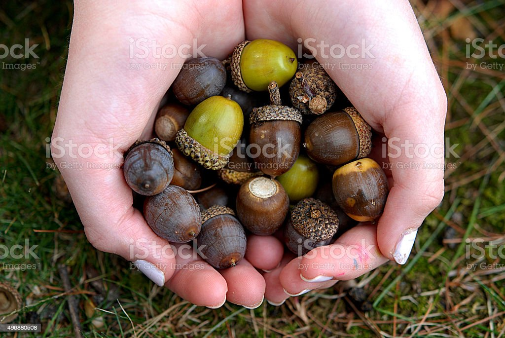 Young Girl Holding Acorns in Hands stock photo