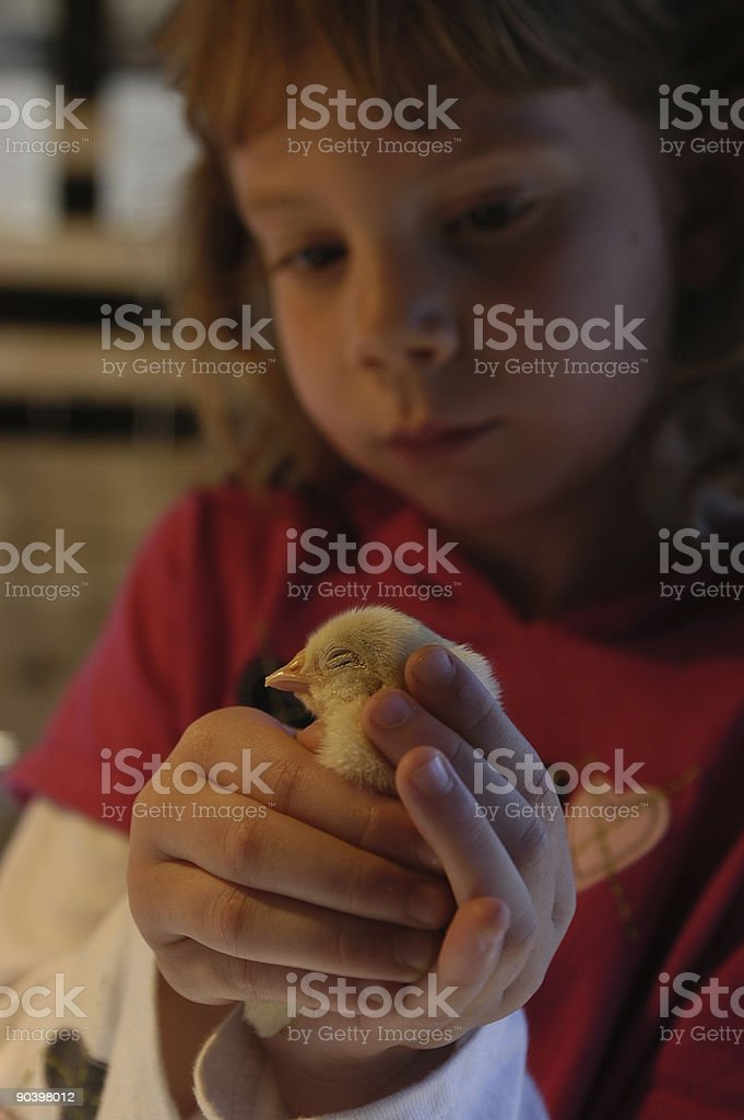 Young Girl Holding Chick stock photo