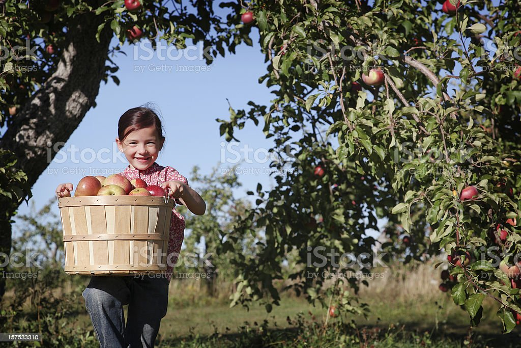 A young girl in an orchard picking apples stock photo