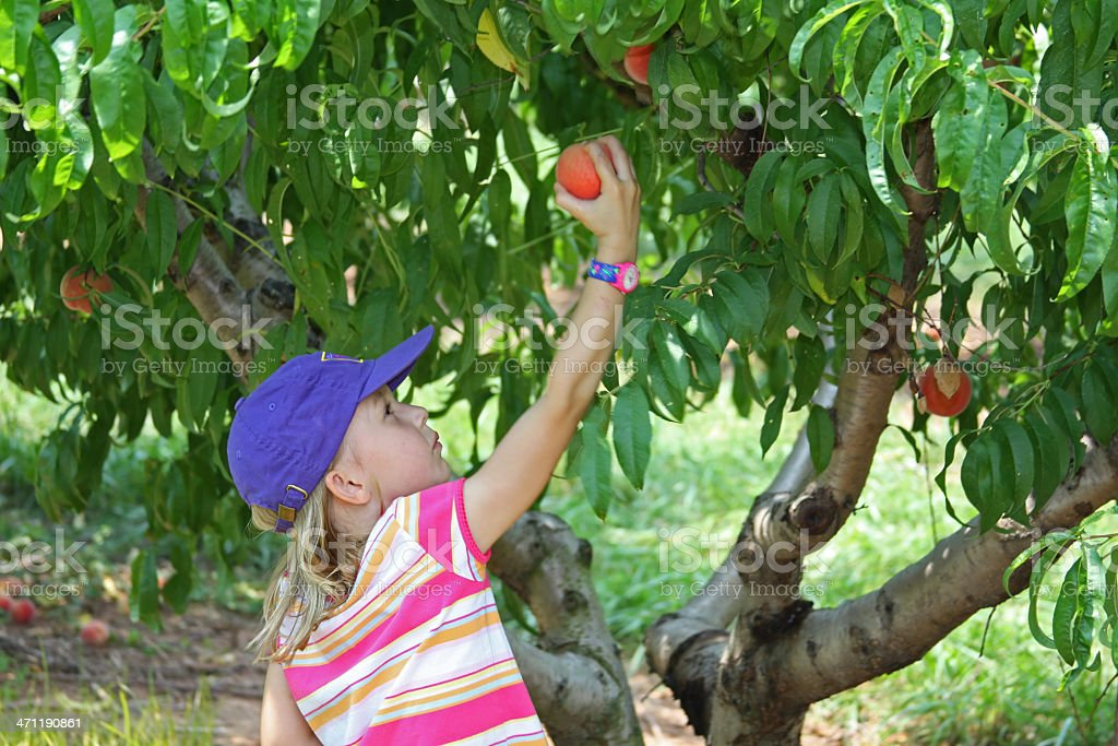 Young Girl Picking Peaches from a tree royalty-free stock photo