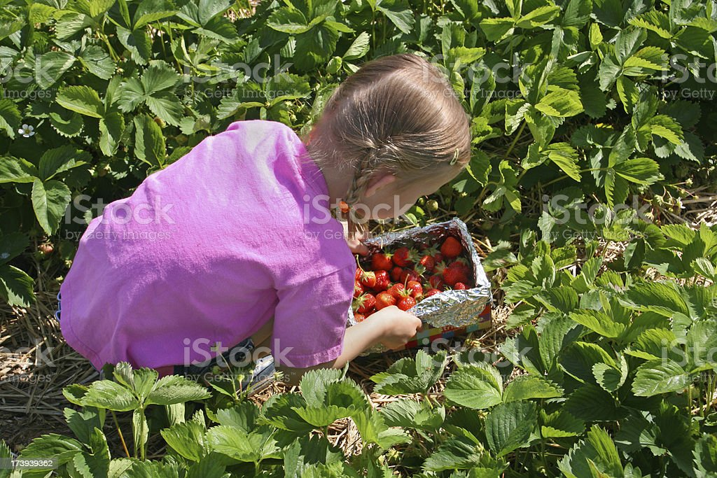 Young girl picking strawberries in a strawberry field royalty-free stock photo