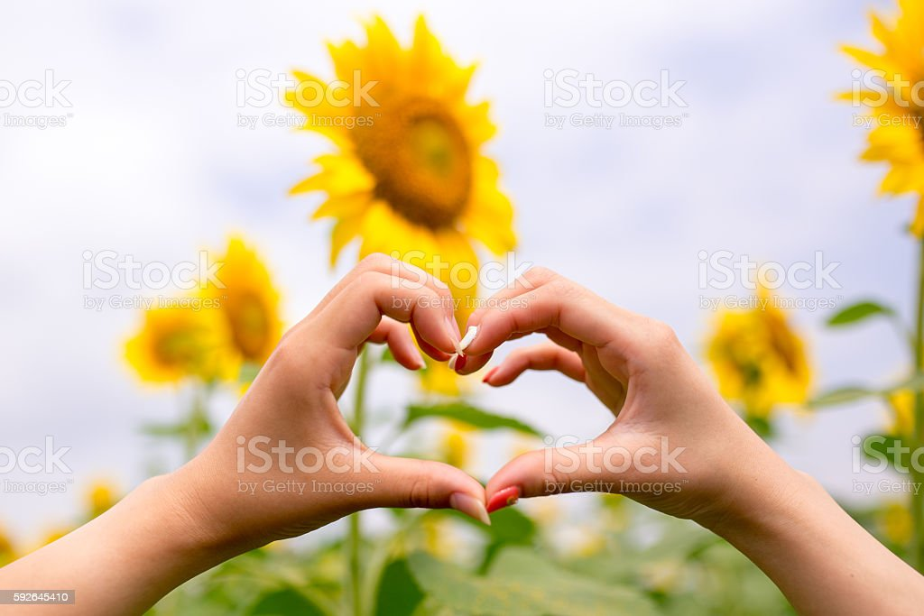 Young girls making a heart shape in sunflower field stock photo