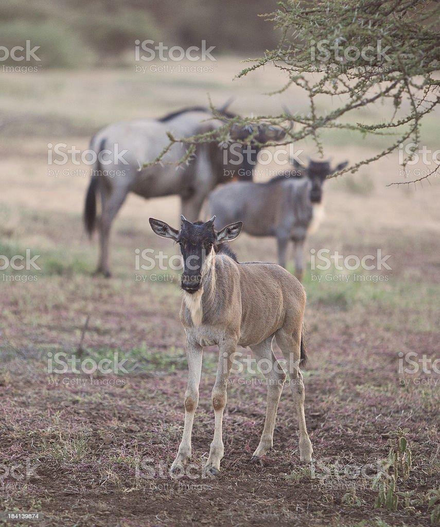 Young gnu calf on African savannah, Kenya stock photo