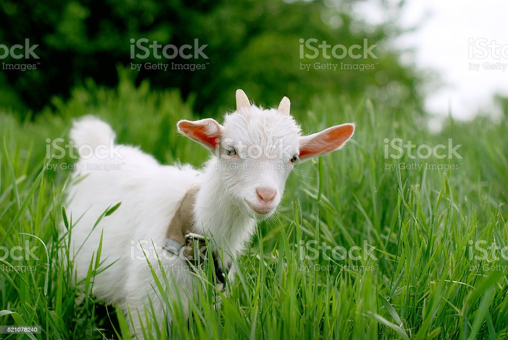 Young  goat and grass stock photo