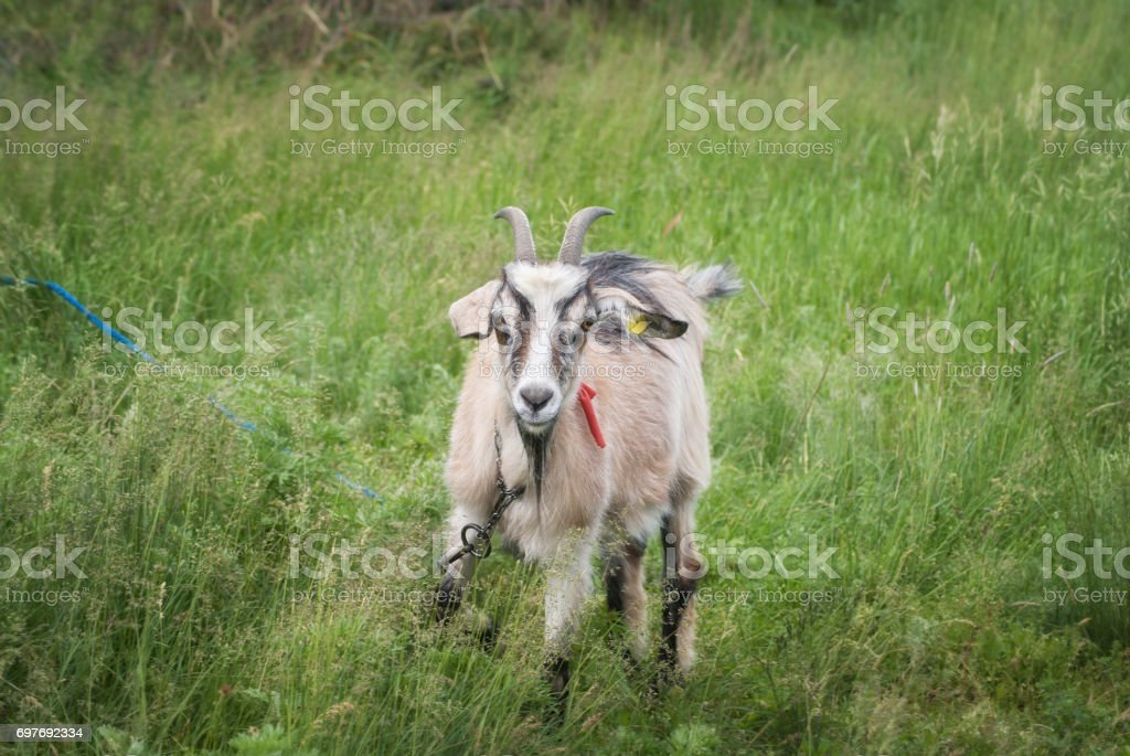 Young goat grazing on a green meadow stock photo