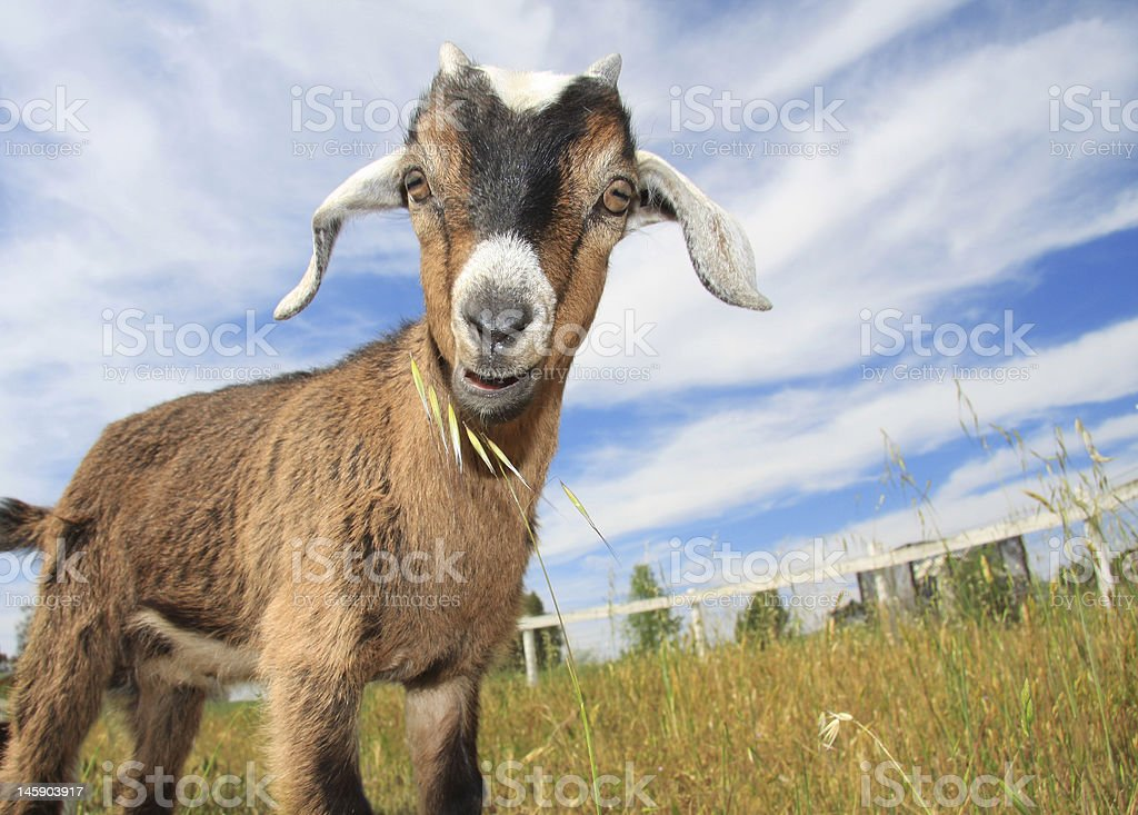 A young goat grazing the fields of tall grass stock photo