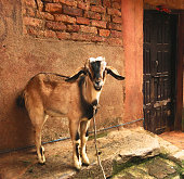 Young Goat in Nepal
