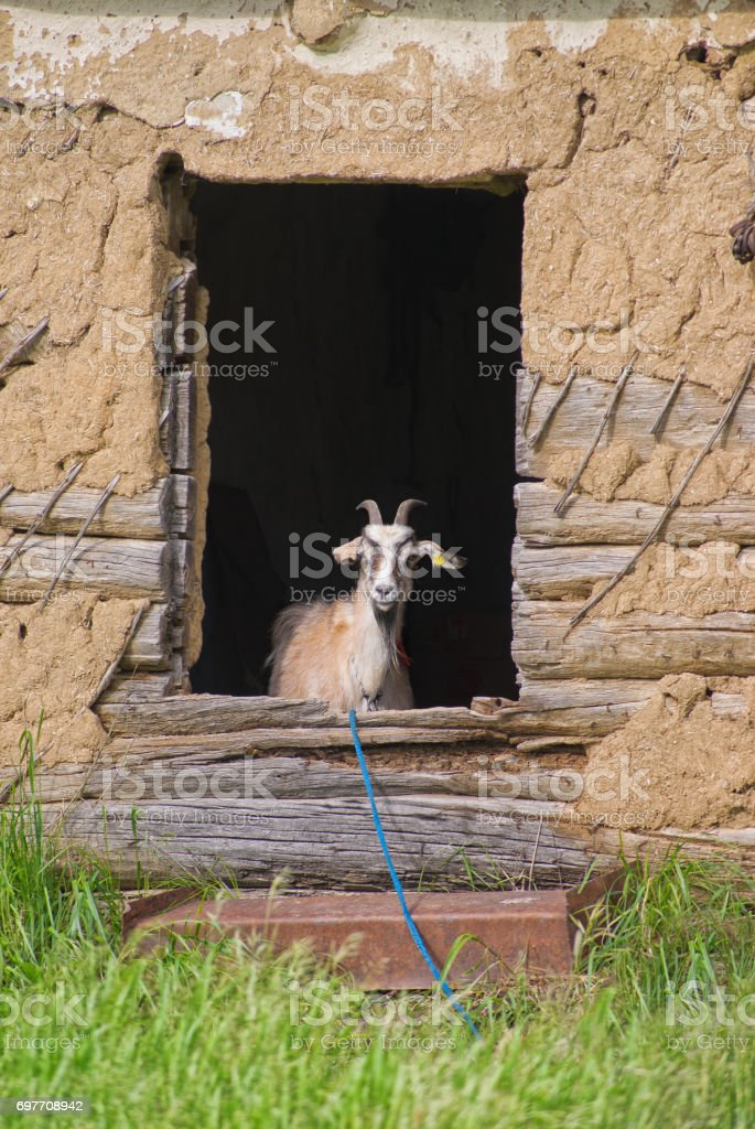 Young goat peeps out the window of an abandoned house stock photo
