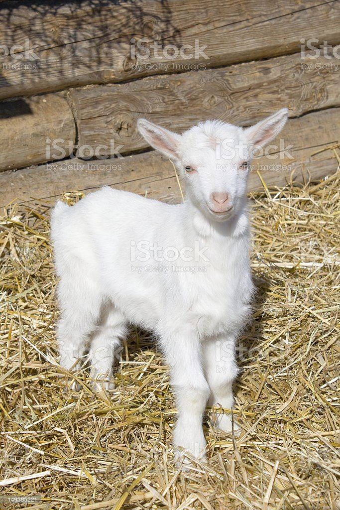 Young  goat. royalty-free stock photo
