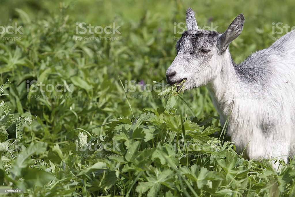 Young goat royalty-free stock photo
