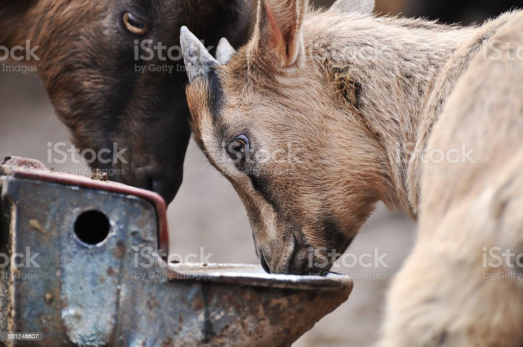 young goat stock photo