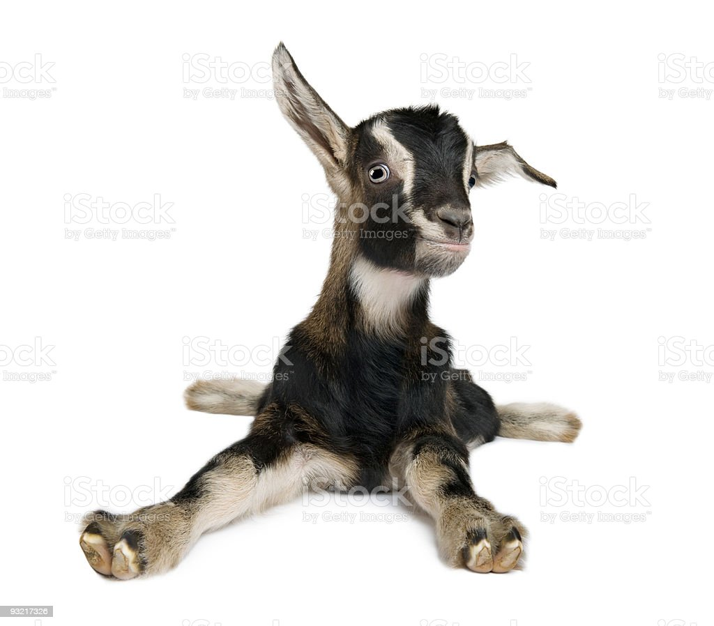 Young Goat (3 weeks old) stock photo