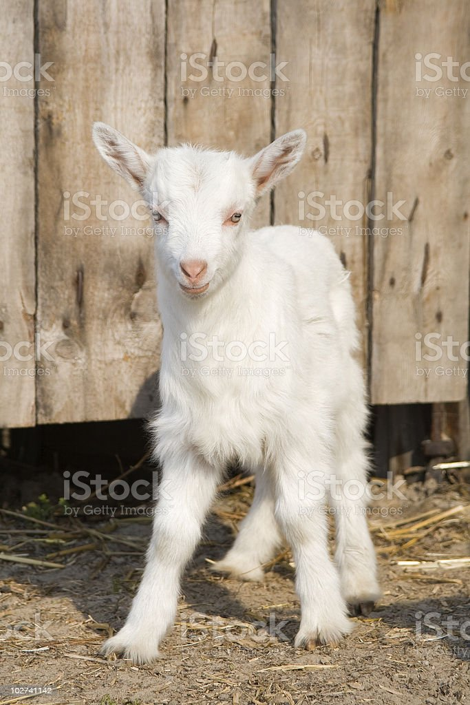 Young  goatling. stock photo
