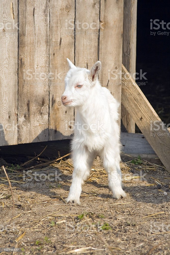 Young  goatling. royalty-free stock photo