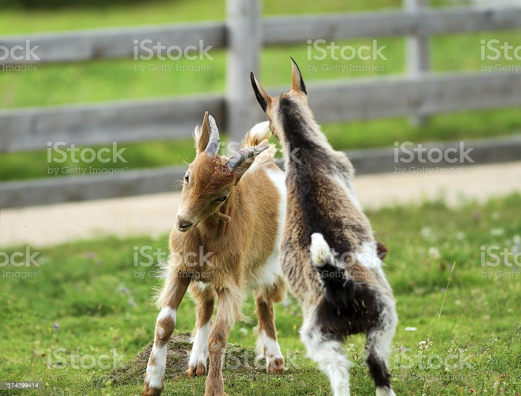 young goats fighting stock photo