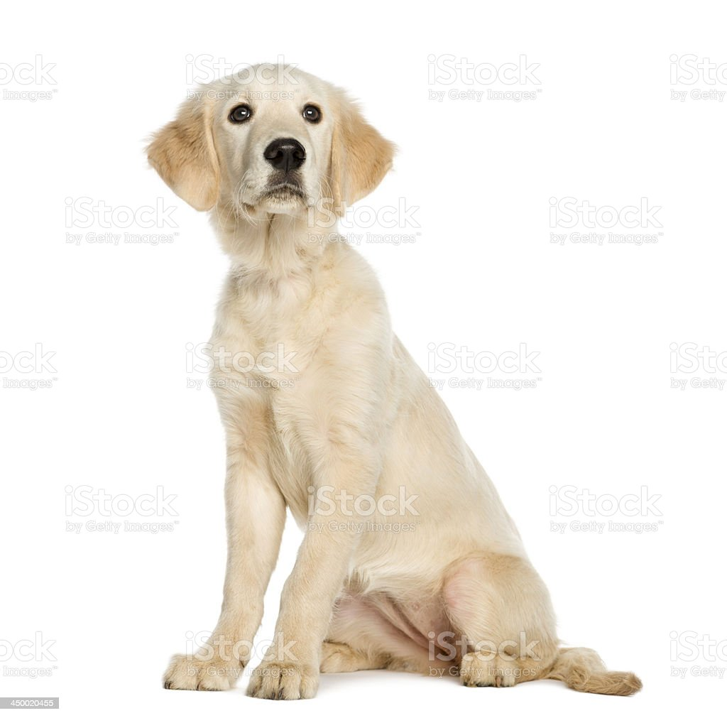 Young Golden Retriever, 5 months old, sitting, isolated on white stock photo