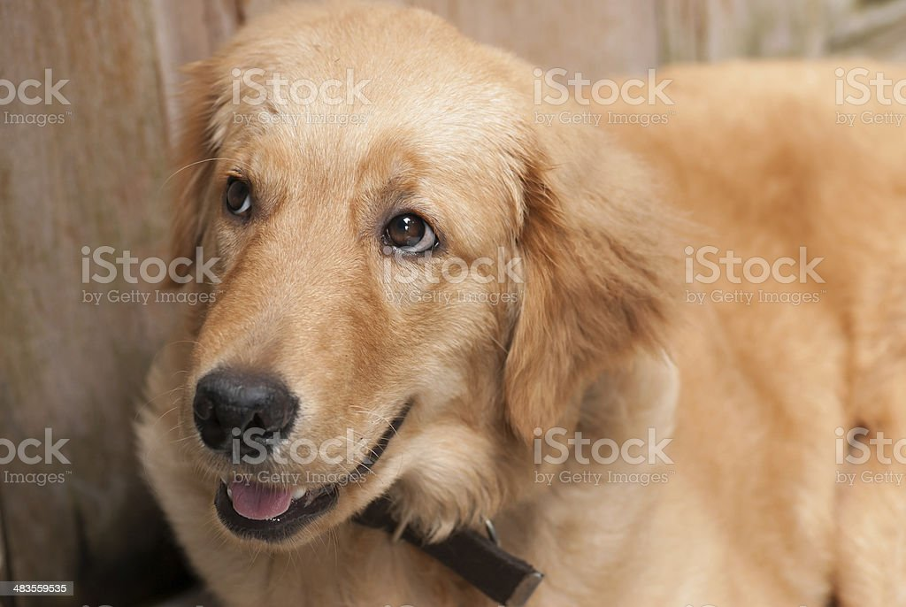 Young golden retriever are smiling. stock photo