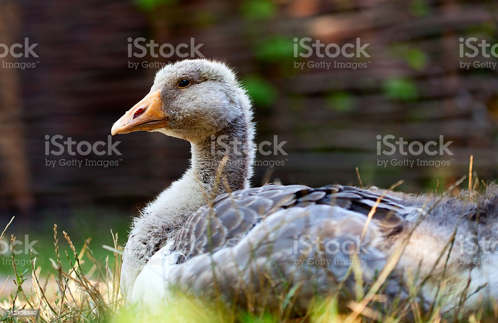 Young goose stock photo