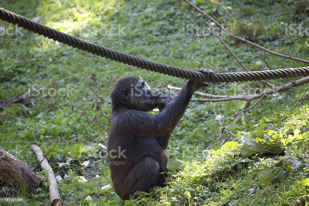 young gorilla stock photo