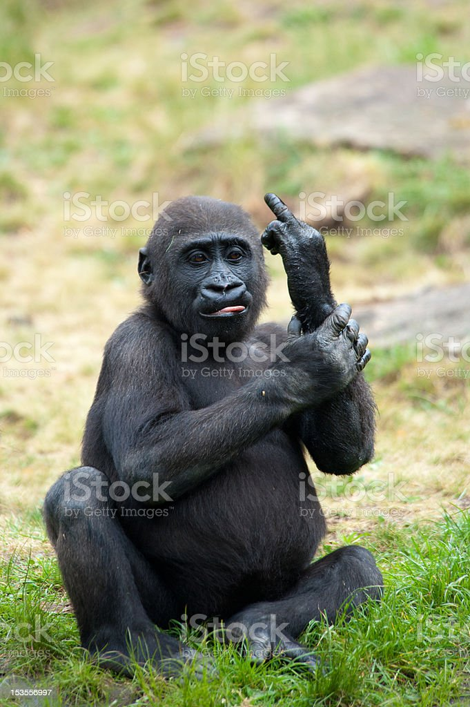 young gorilla sticking up its middle finger stock photo