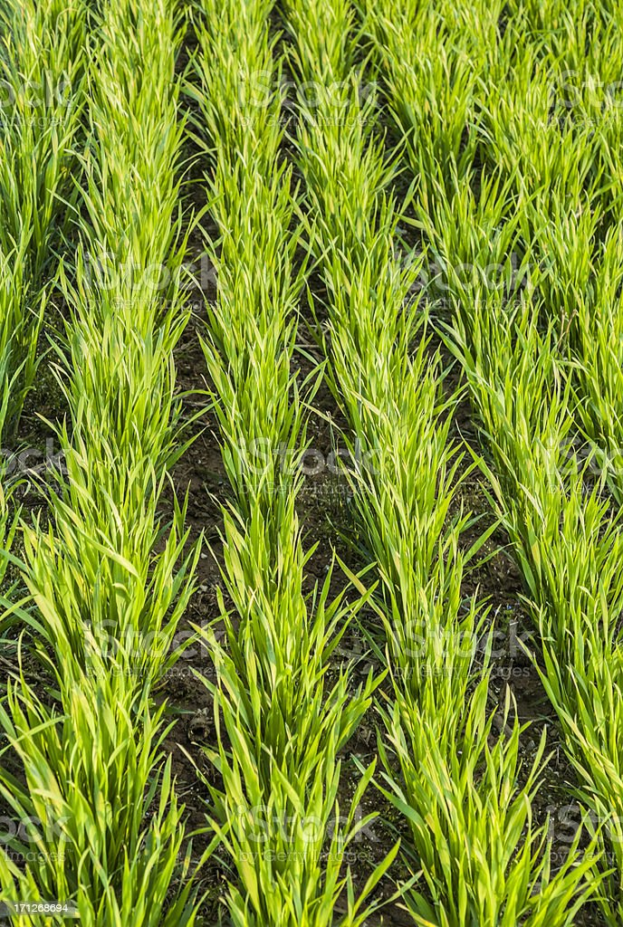 Young Grain Crop Close-up of Neatly Planted Rows stock photo