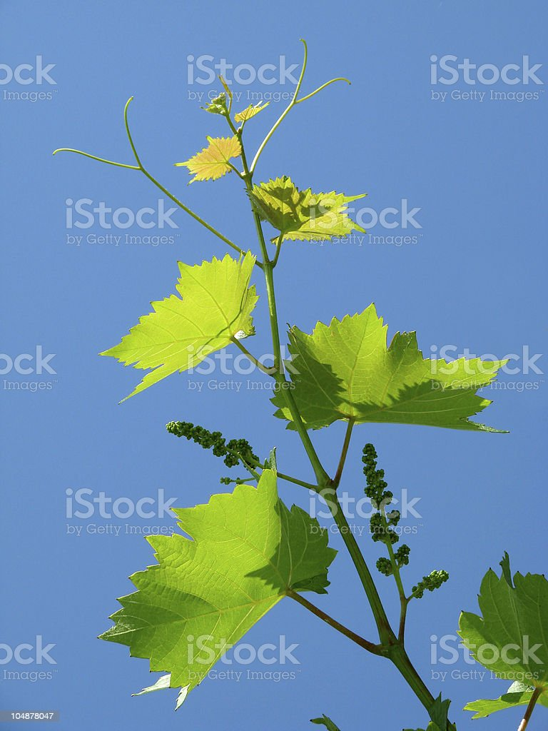 young grape cluster royalty-free stock photo