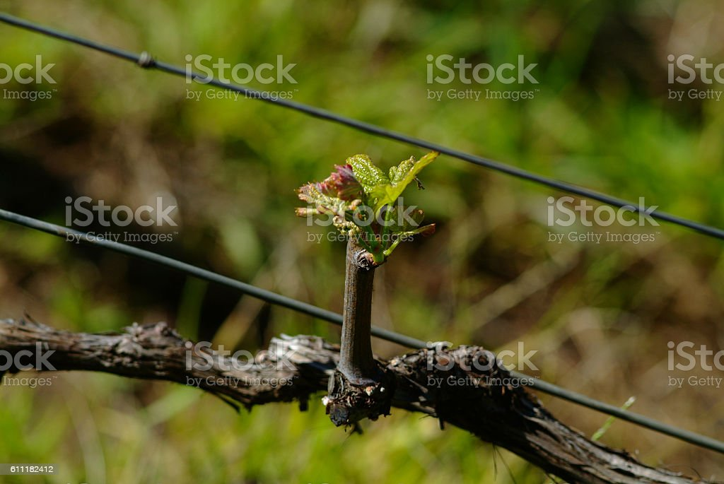 Young Grape Vine stock photo