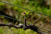 Young Grape Vine