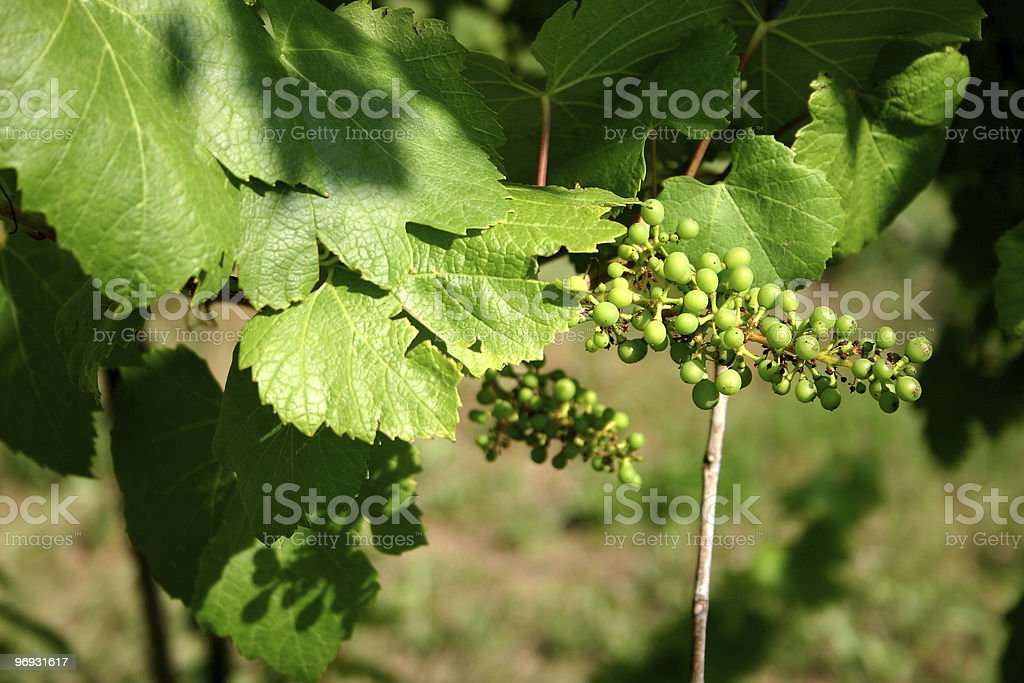 Young grapes landscape stock photo