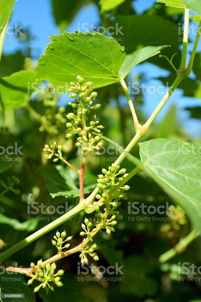 young grapes stock photo