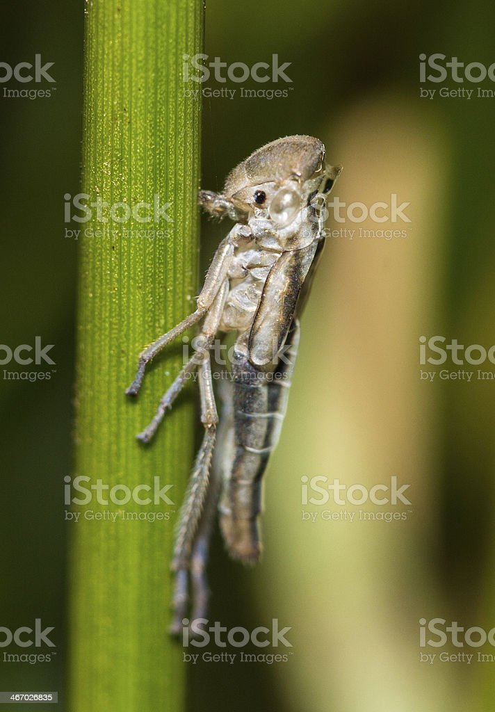 Young grasshopper royalty-free stock photo