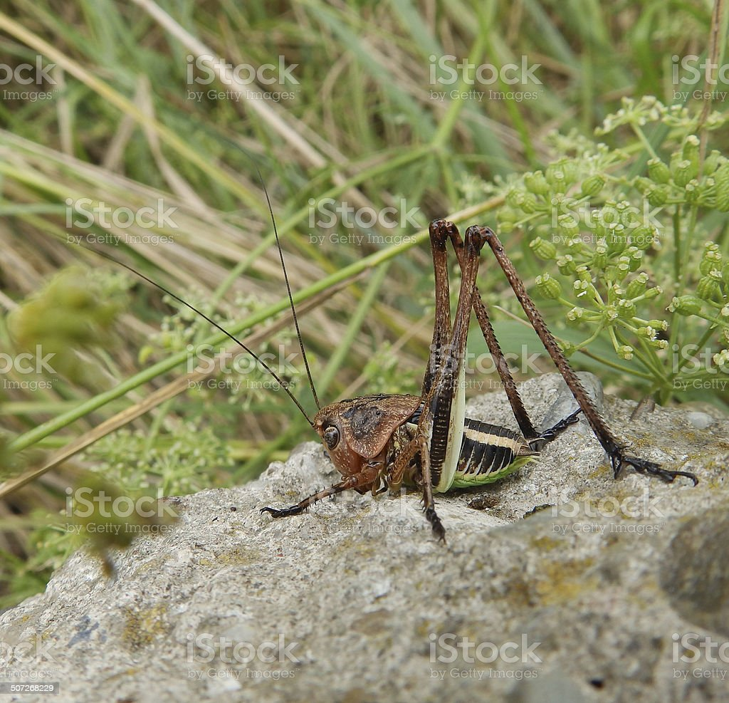 Young grasshopper stock photo