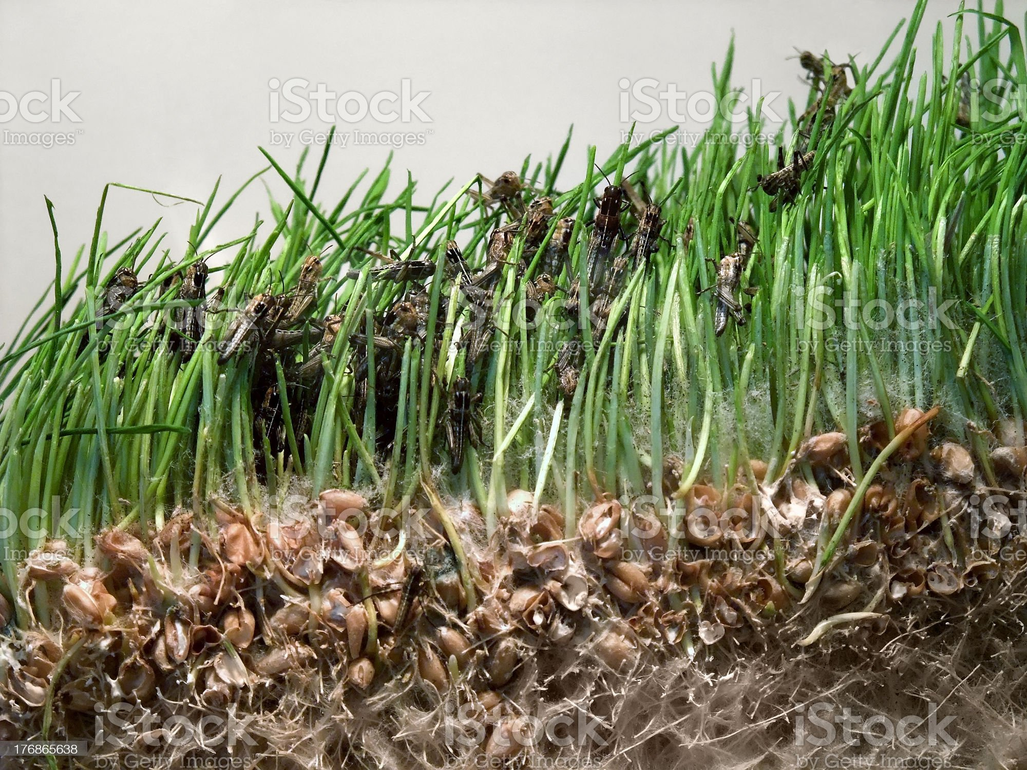 young grasshoppers royalty-free stock photo