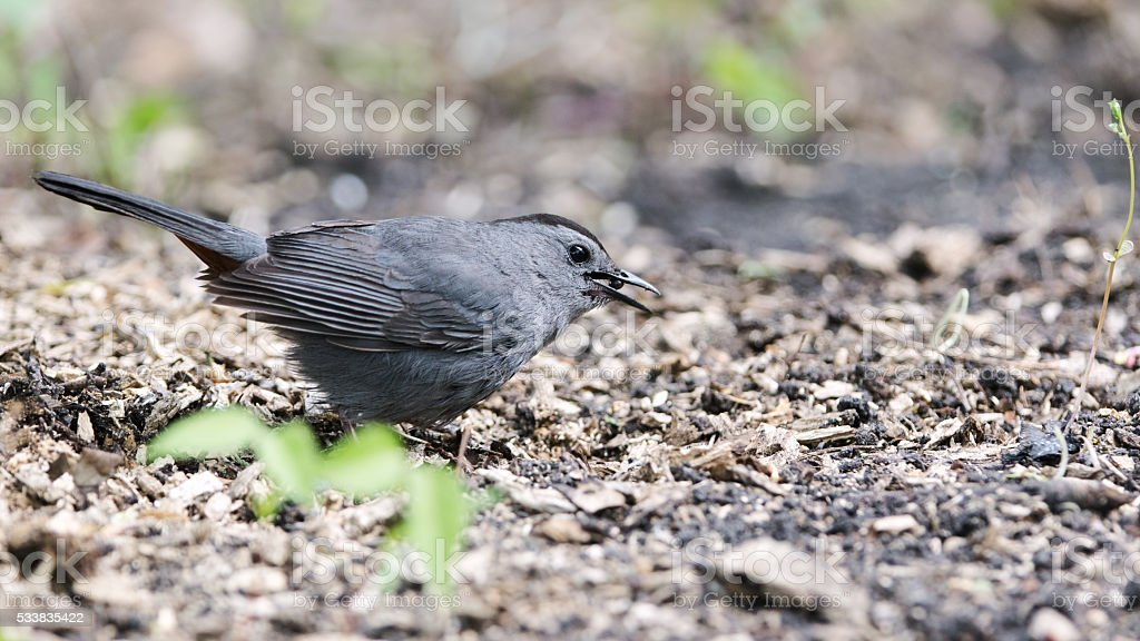 Young Gray Catbird Eating a Chokecherry stock photo
