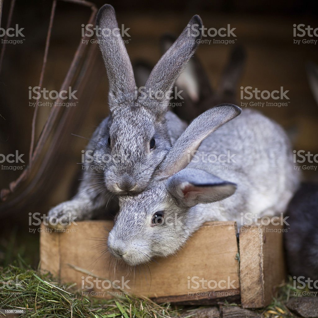 Young gray rabbits on a wooden crate ready to have lunch royalty-free stock photo