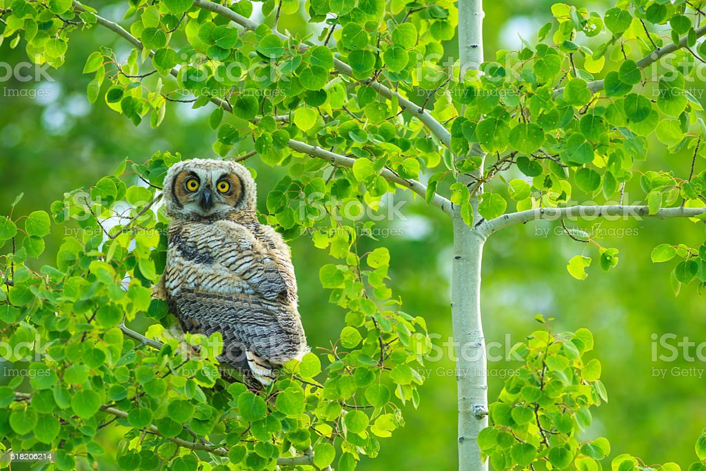 Young Great Grey owl stock photo