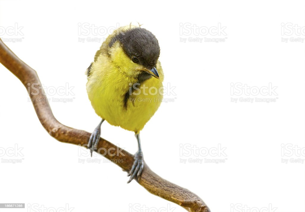 young great tit isolated on white stock photo