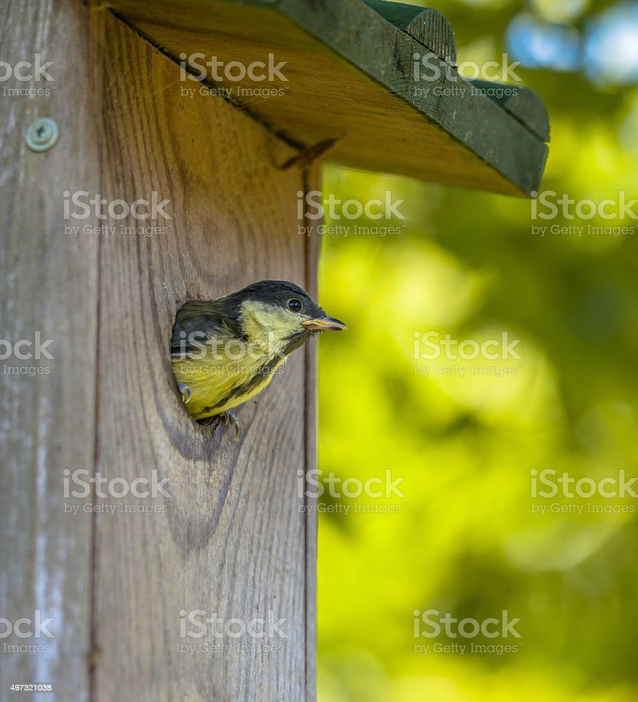 Young Great Tit just befor Flying Out stock photo