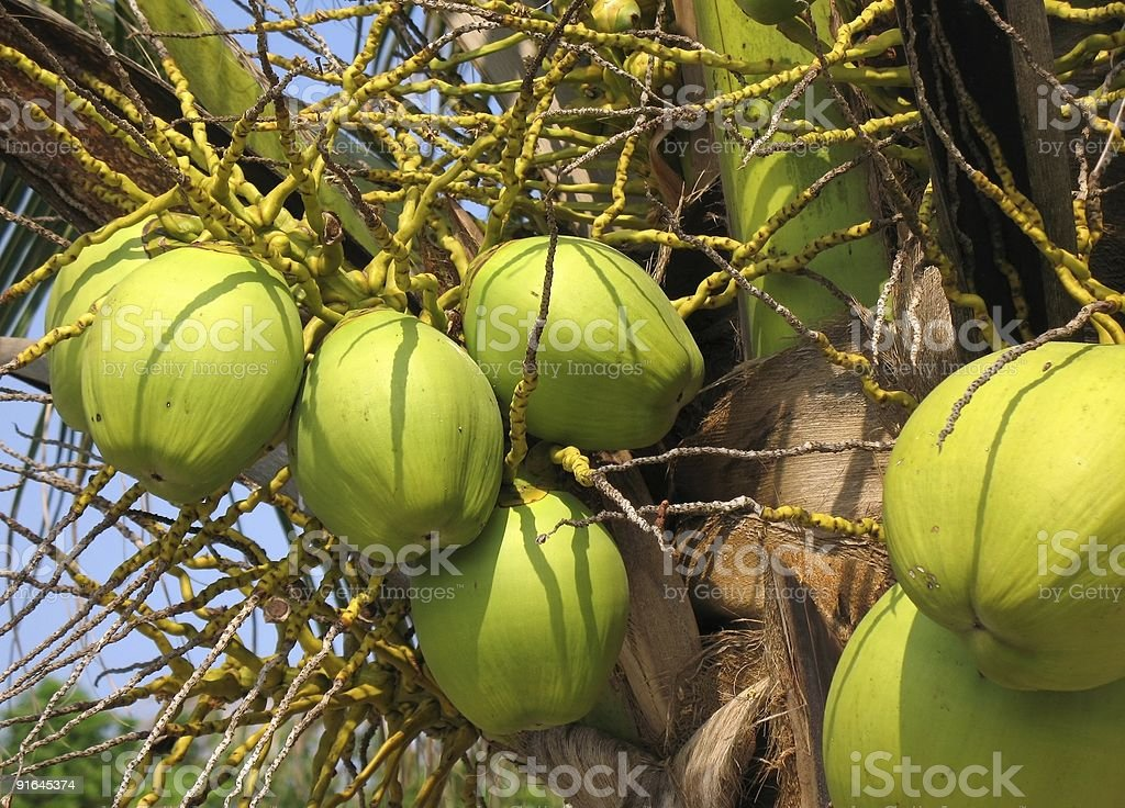 Young Green Coconuts royalty-free stock photo