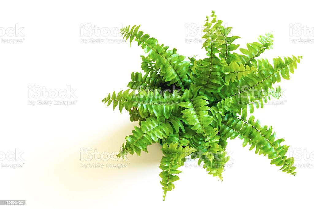 Young green fern with curly leaves stock photo