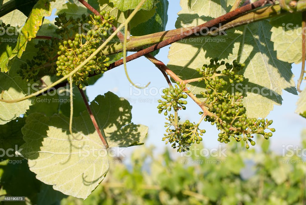 Young green grape on vine royalty-free stock photo