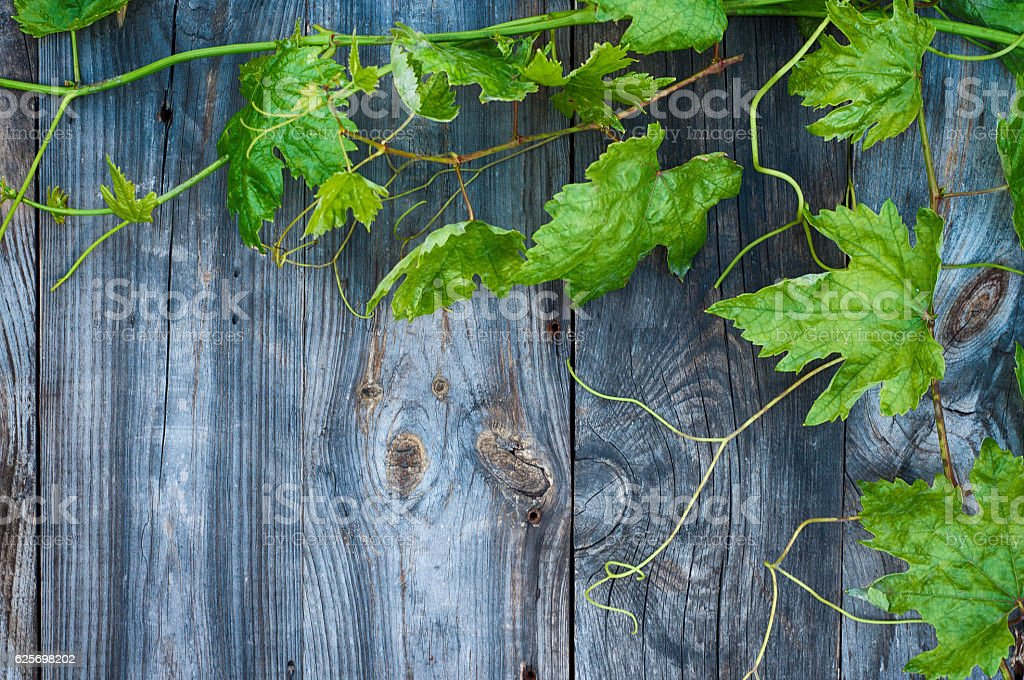 Young green grape vine on gray wooden surface stock photo